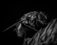 Akio Imai Vs Shingo Akamine Vs Tomomi Yoshida Drosophila