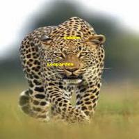 Sublim Leoparden